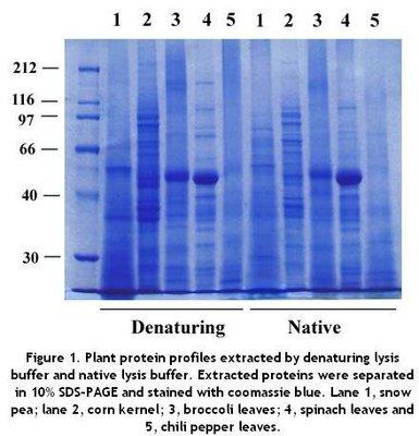 重组小鼠 BST2 蛋白 (His 标签, ECD)