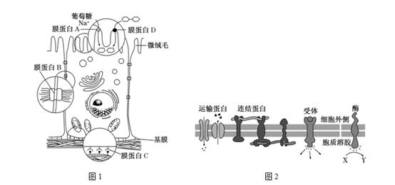 雄性SD大鼠(混合)肝微粒体