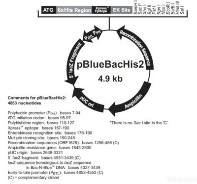 pBad/Myc-His C载体