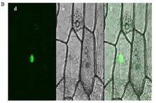 DH10MultiBac菌株昆虫细胞表达载体系统
