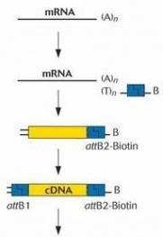 人关节软骨细胞cDNA