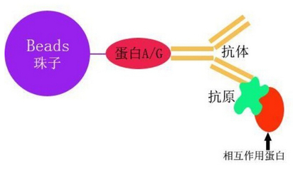 免疫共沉淀(Co-IP)技术服务