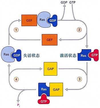 Anti-FOXB1抗体