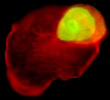 大鼠心肌营养素1ELISAKit,大鼠(CT-1)ELISA试剂盒