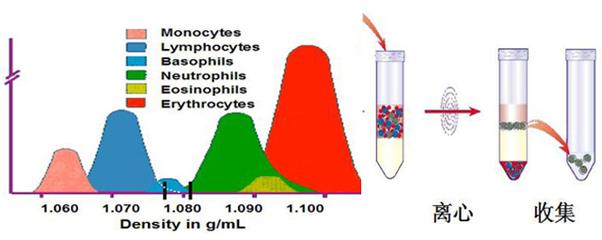 小鼠外周血NK细胞分离液试剂盒