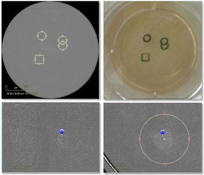 活细胞核染料吖啶橙