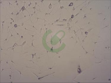 小鼠肾小管平滑肌细胞