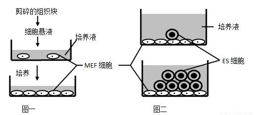 Vaginal Keratinocyte Progenitors, Rat (Wistar)