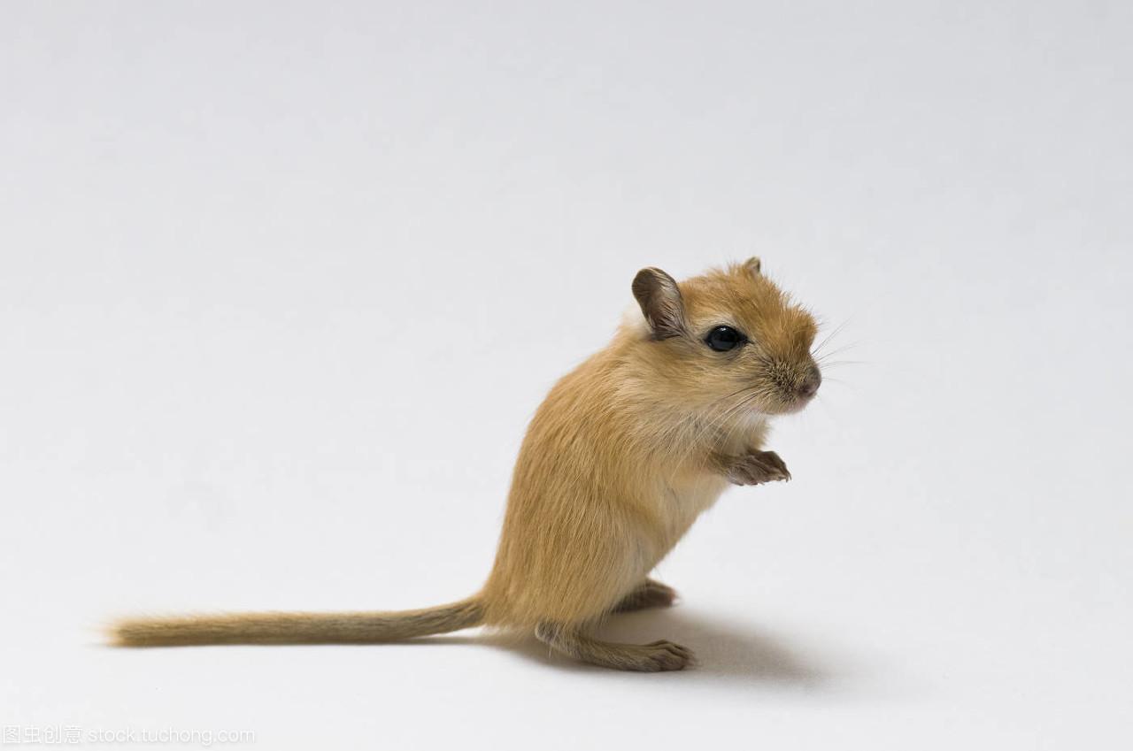 小鼠催乳素(mouse PRL)