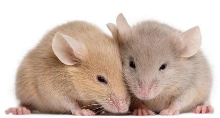 小鼠血小板活化因子(mouse PAF)