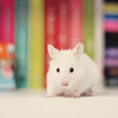 小鼠巨嗜细胞趋化蛋白-1(mouse MCP-1)