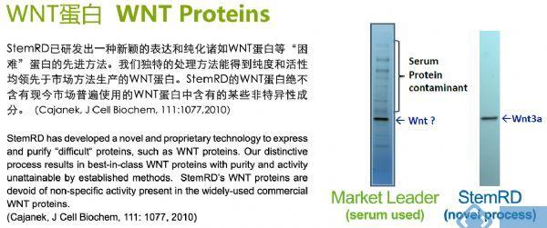 人重组WNT-3a蛋白 人源细胞表达高纯度和高活性的人重组WNT-3a蛋白