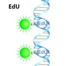 Cell-Light™ EdU组织切片检测试剂盒(细胞增殖,优于BrdU)