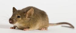 129小鼠 SPF级