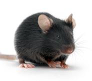 B6D2F1小鼠 SPF级