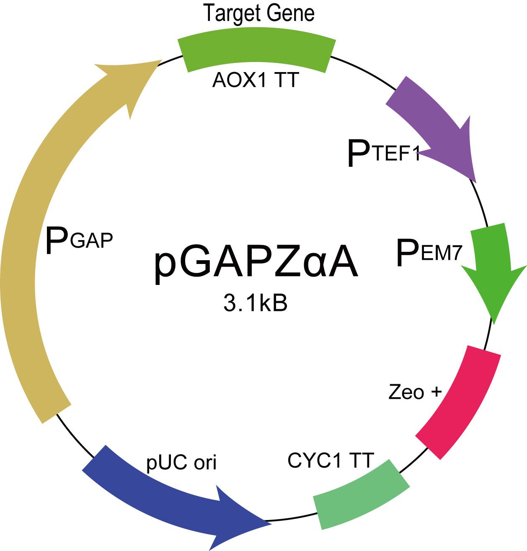 毕赤酵母蛋白表达服务