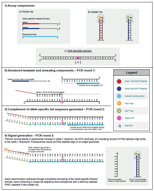 KASP基因分型SNP检测
