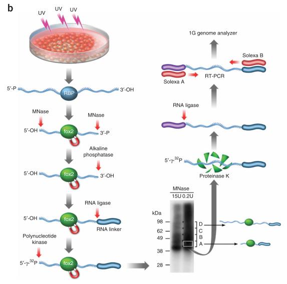 高通量测序 紫外交联免疫共沉淀测序