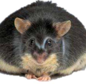 糖尿病/肥胖模型