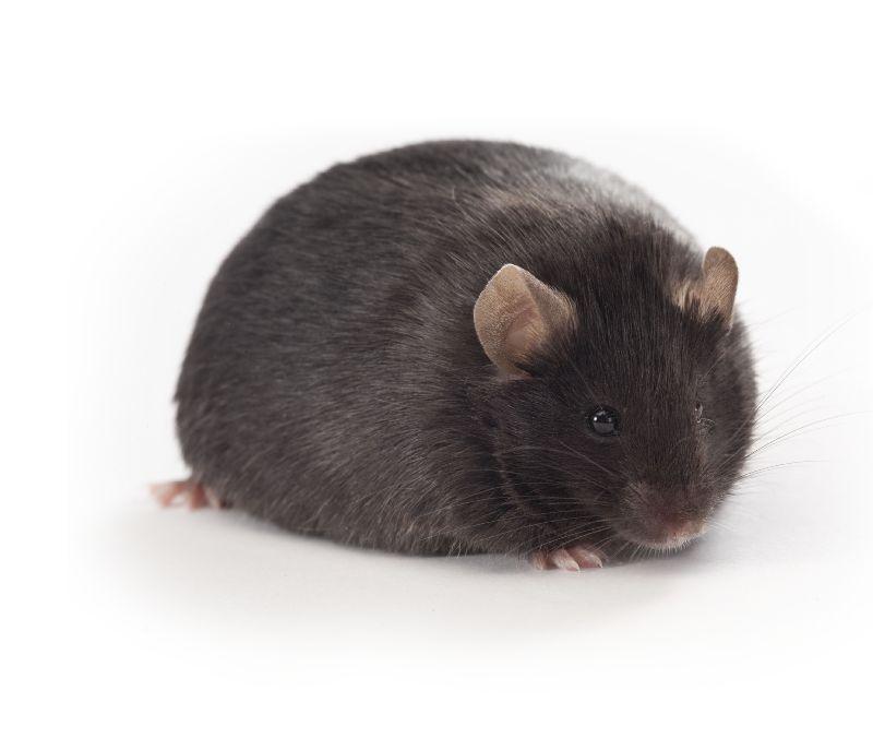 DIO小鼠 SPF级